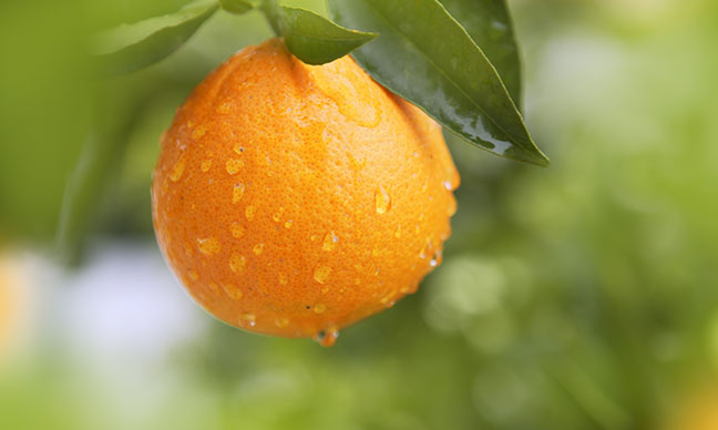 Do_orange_trees_grow_in_Texas_