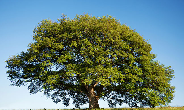 What_are_the_best_fast_growing_shade_trees_