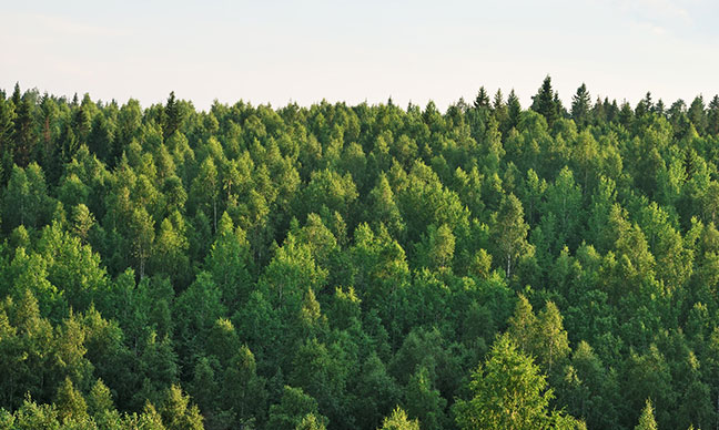 Why_is_my_evergreen_tree_turning_brown_