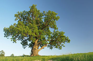 Acute_Oak_Decline_Treatment_In_Fort_Worth