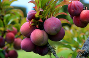 Best_Fruit_And_Nut_Trees_For_Austin