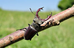 Twig_Girdler_Beetle_Control_In_Fort_Worth