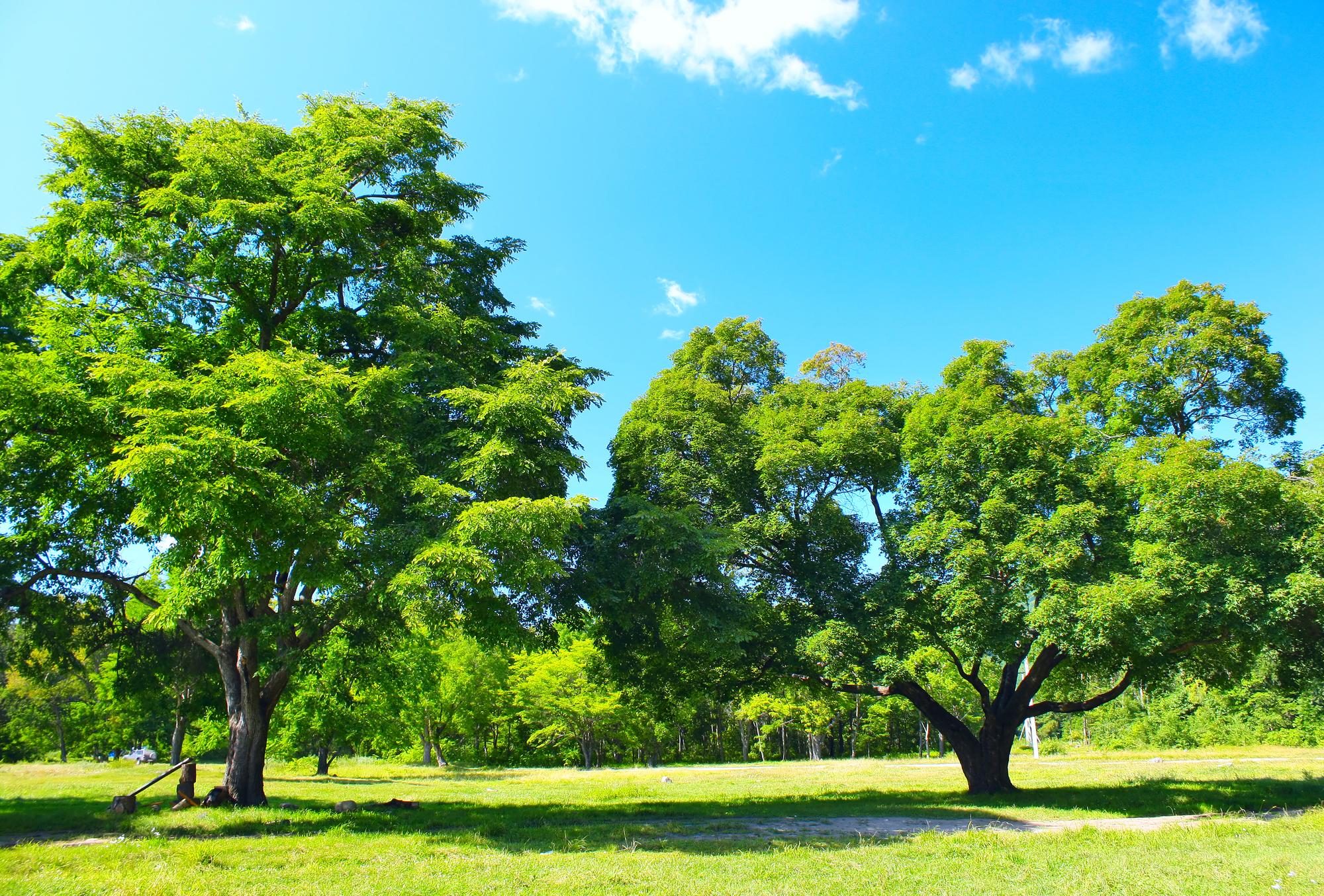 10_Corpus_Christi_Tree_Pests_And_Diseases
