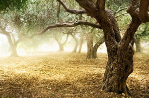 Alamo Heritage Trees You Should Know About