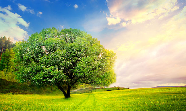 Plains_Cottonwood