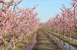 Fresno Blooming Trail – Dates And Tree Guide