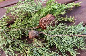 Dallas Cedar Hawthorn Rust Tree Disease
