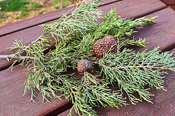 Dallas_Cedar_Hawthorn_Rust_Tree_Disease