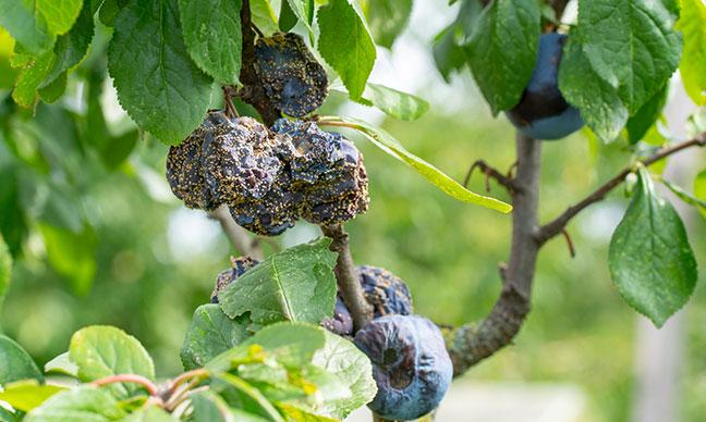 How_do_I_get_rid_of_fungus_on_my_plum_tree_