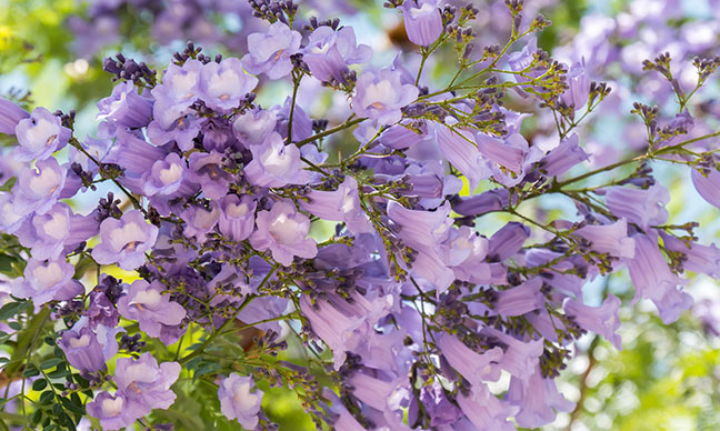 What_are_the_purple_trees_in_California_