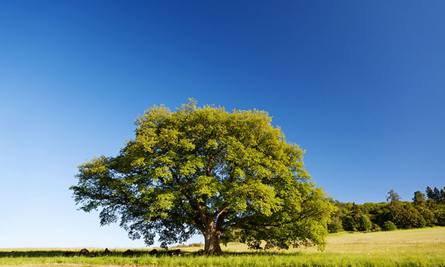 What_is_the_fastest-growing_shade_tree_in_California_