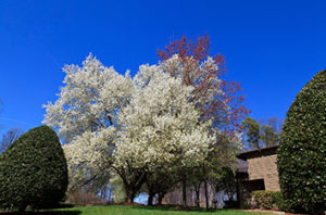 Bradford Pear Fire Blight Causes And Treatment