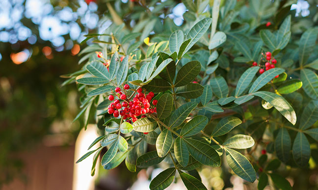 Can_you_eat_the_pepper_from_a_California_pepper_tree_