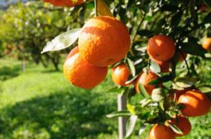 Citrus Disease Kills Tree In Rancho Cucamonga