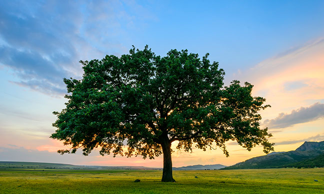 How_do_you_take_care_of_an_oak_tree_