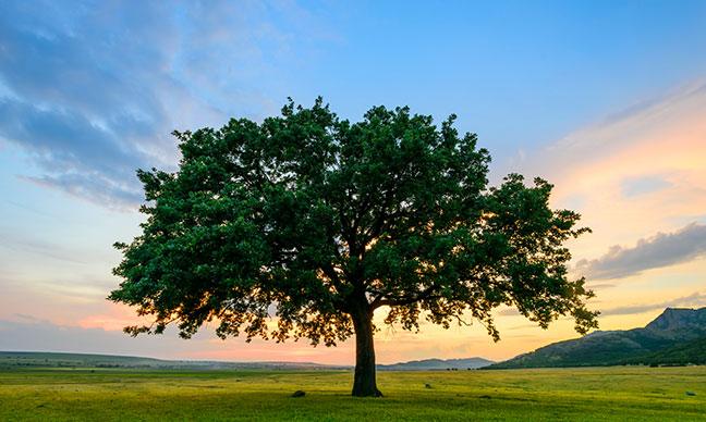 What_is_killing_oak_trees_in_California_
